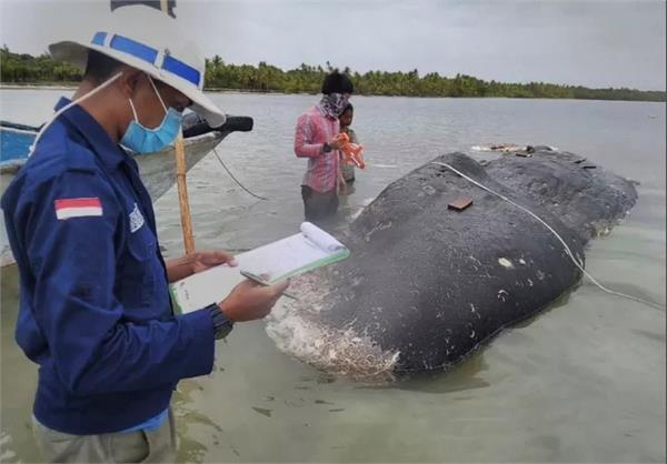 indonesia whales dies