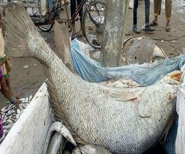 ghol fish sold in 5 5 lakh at palghar in maharashtra