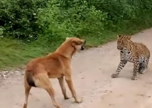 कुत्ते का शिकार करने आए भूखे तेंदुए के साथ हुआ कुछ ऐसा, देखकर आ जाएगी हंसी