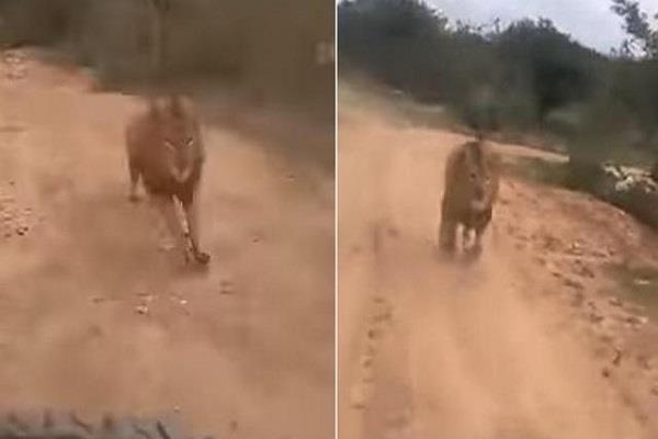 lion chasing tourists on safari