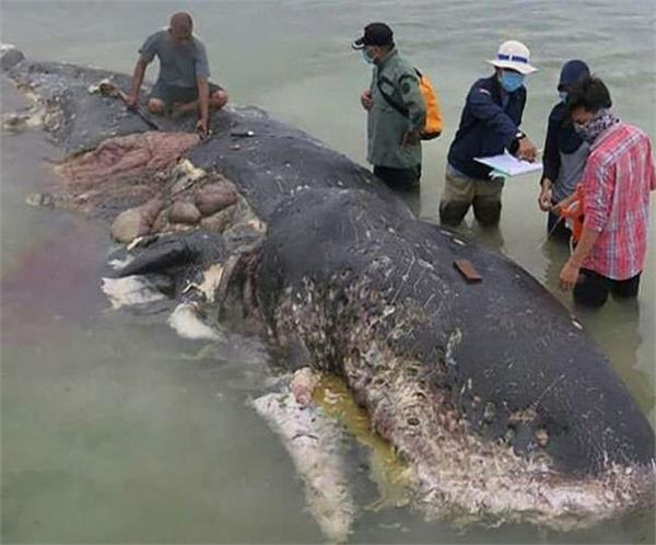 dead whale found with 40kg of plastic in its stomach