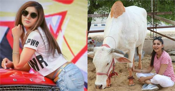 sapna choudhary spend time with cows