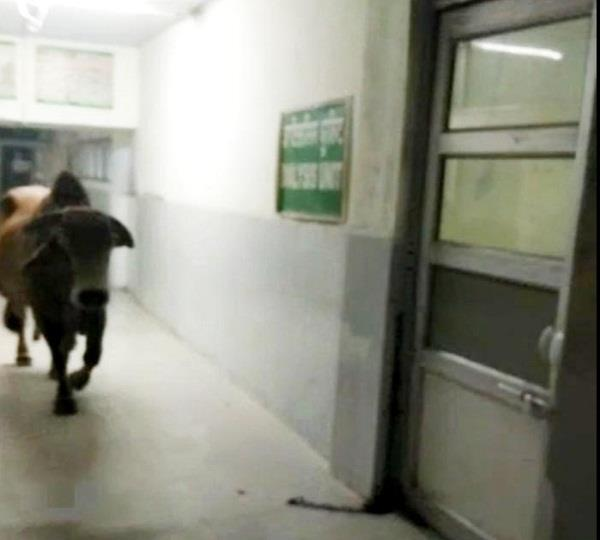 destitute animal in bathinda