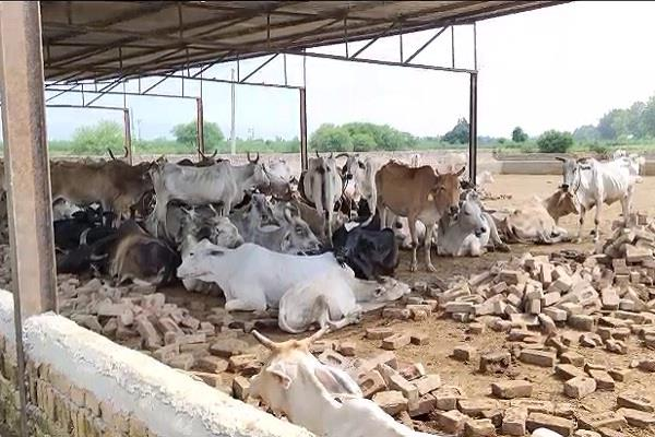 cow dying in gaushala
