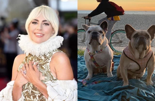 after two days lady gaga two french bulldogs recovered
